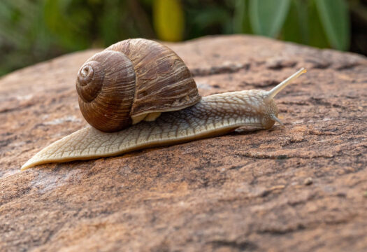 Snail climbing on the rock